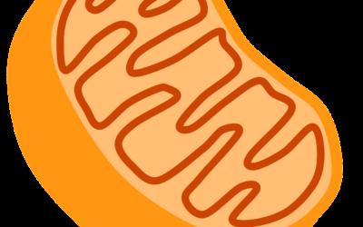 Mitochondrien im Mittelpunkt der Schwermetallausleitung
