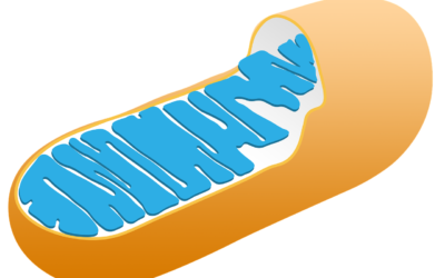 Mitochondrien, (Schwer-)Metalle und Phospholipide